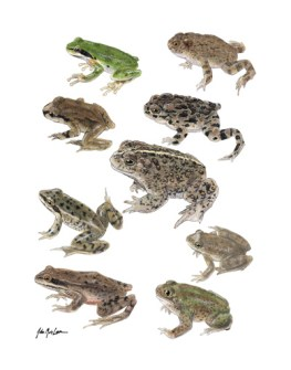 Frogs and Toads of the Sierra