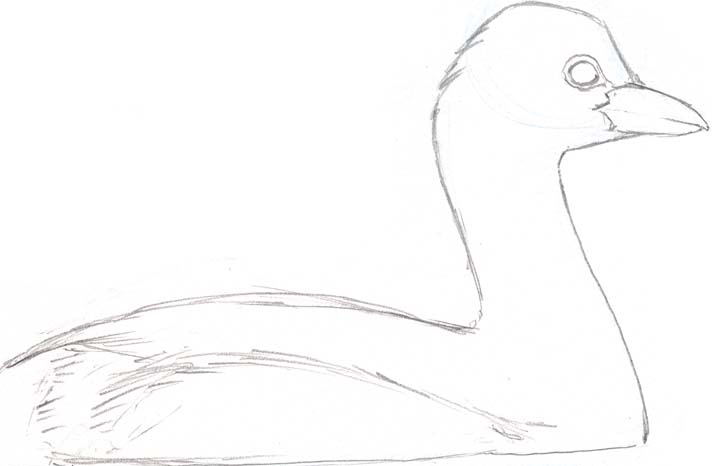 Line drawing of Pied-billed grebe for watercolor