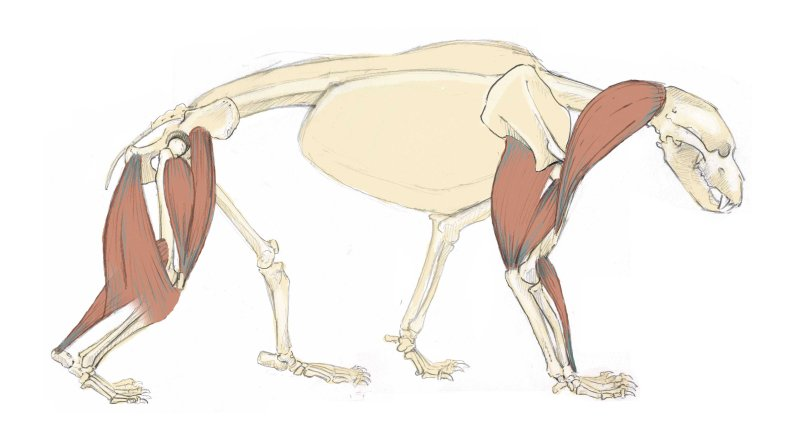 The brachiocephalicus is a thick muscle that sits on either side of the neck and turns the head side to side. The lower edge of this muscle often makes a prominent grove called the jugular grove. The muscle originates at the back of the skull and inserts into the humerus (upper arm).