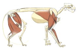 The deltoids or shoulder muscles are thick and strong in cats. They originate along the spine of the shoulder blade (scapula) and insert near the top of the forearm (humerus).