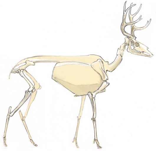 The deer has a unguligrade stance walking on the toe nails or hooves. The bones of the instep and palm are fused into long bones. The limbs are long and delicate. Note that the heel and wrist form the joints half way down the part of the leg that is exposed below the body.