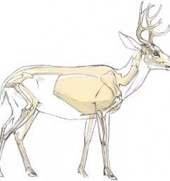 mule deer skeleton 2 [ 3251 x 3145 Pixel ]