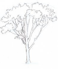 """Draw the trunk from the top down, connecting branches together and widening as you go. Keep looking back at the real tree instead of going with your idea of how branches should look. The models we carry in our heads of what tree branches """"should"""" do are too simple."""