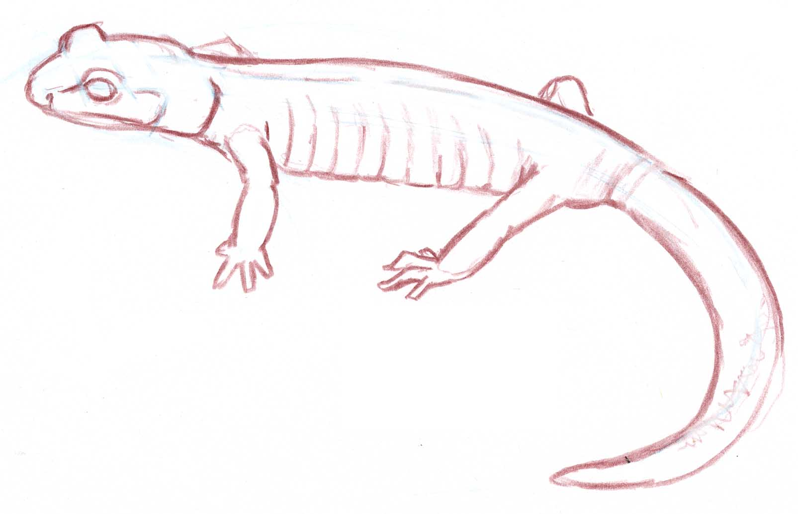 ensatina line drawing