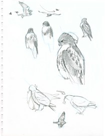 A Red-tailed Hawk flies into a nearby oak and begins to feed on a small mammal that it had caught. While the bird is in sight, you are able to make several sketches of the postures. By combining several sketches on the same page and adding a close up view, you have the raw materials for a post-hoc composition.
