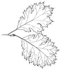black oak_1