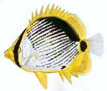 Add a yellow accent by the pectoral fin.