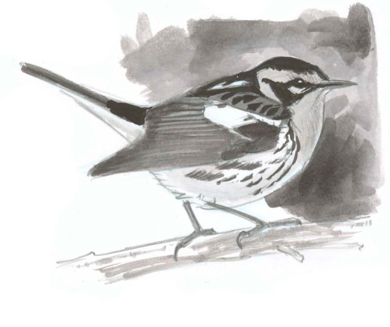 Monochrome Study: Blackburnian Warbler Step-by-Step