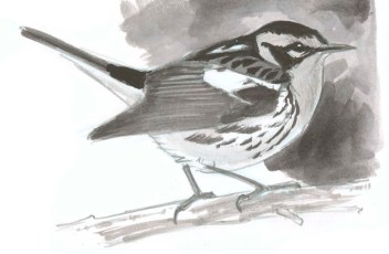 warbler-blackburian-sbs-7