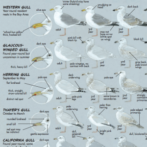 Gull ID sample
