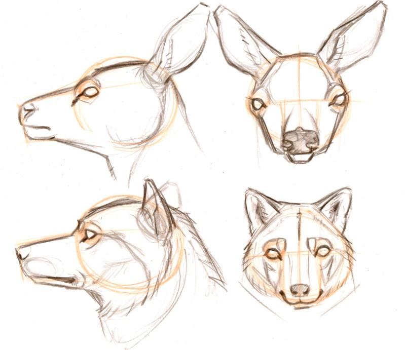 Drawing Mammal Heads: Predator vs. Prey