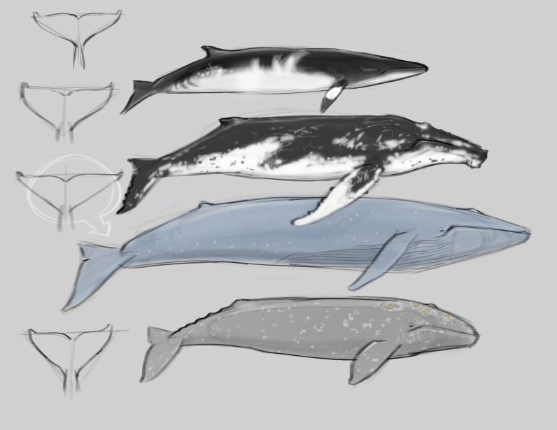 The Minke Whale is a stunner. Each individual has unique patterns of white and black airbrush swirls and lines. The pectoral fin has a distinctive white mark.