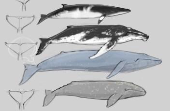 Whale Anatomy 1.14