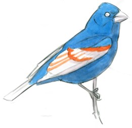 Blue Grosbeaks have orange bars on the greater and median secondary coverts and tertials. Paint these before the dark wing.