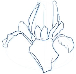 Iris shape study 25