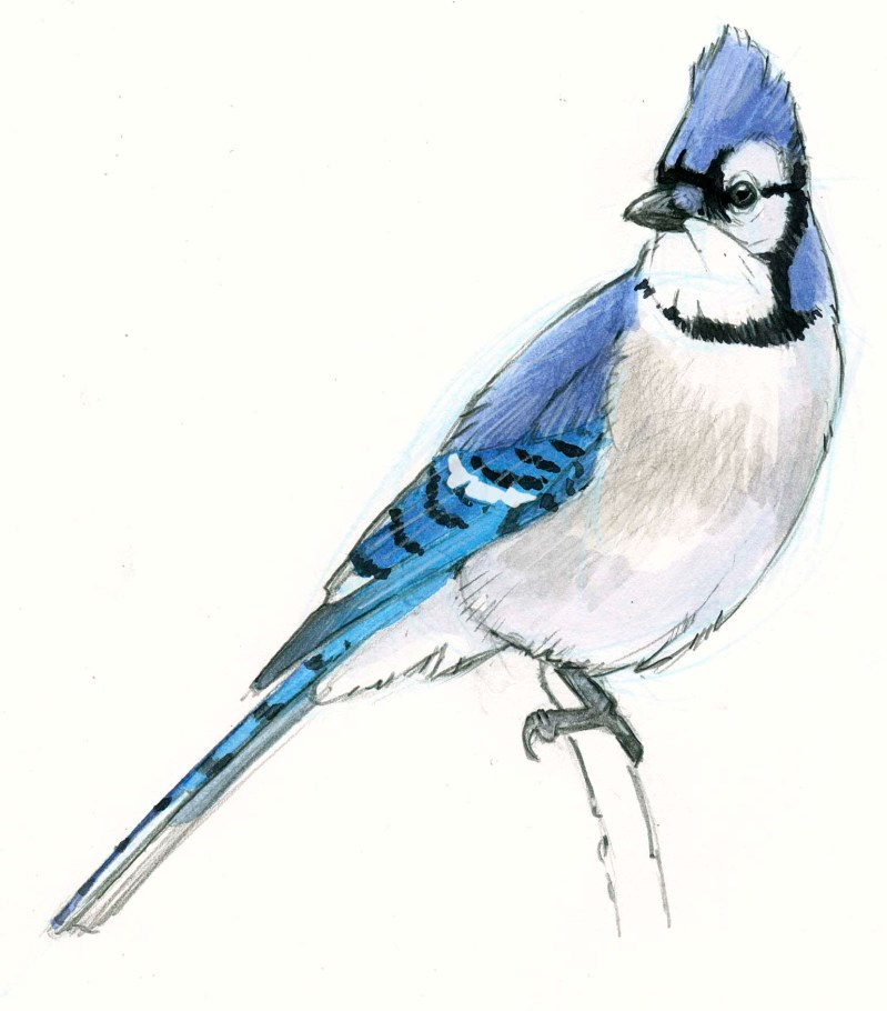 Paint a Blue Jay step-by-step