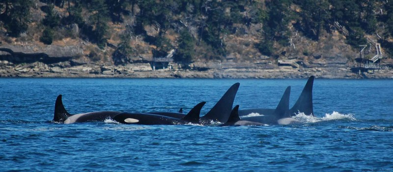 Orca! Art and Conservation (video)