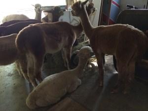 alpacas in the garage 01