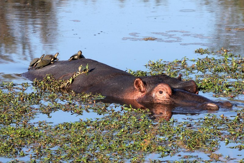 hippo in the kruger