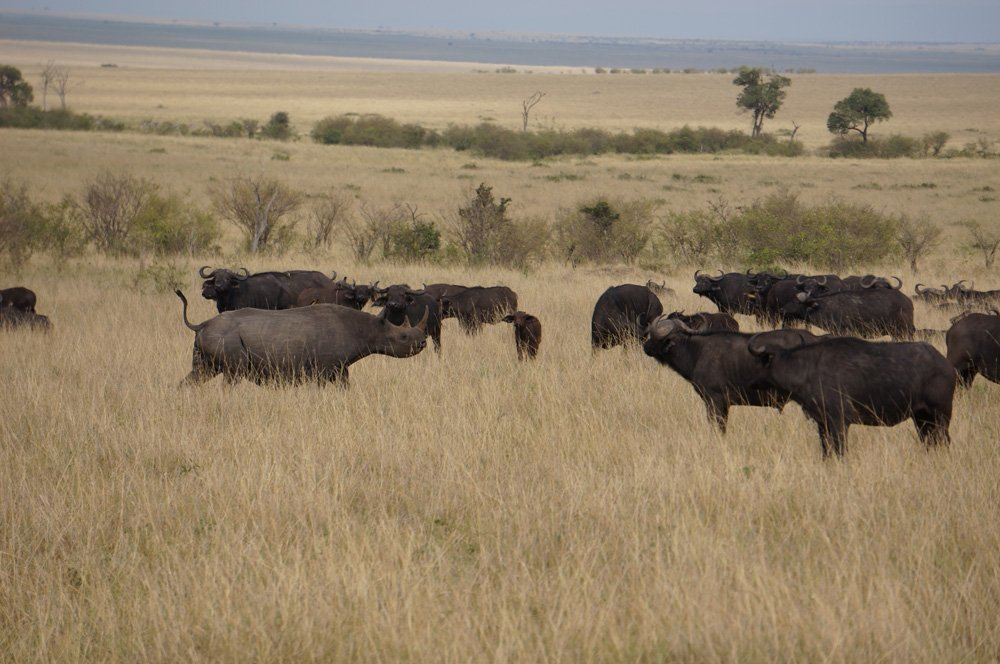 rhino and buffalo masai mara