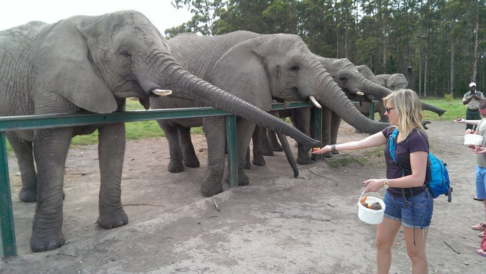 Elephant grabbing some chow from Erica's hands.