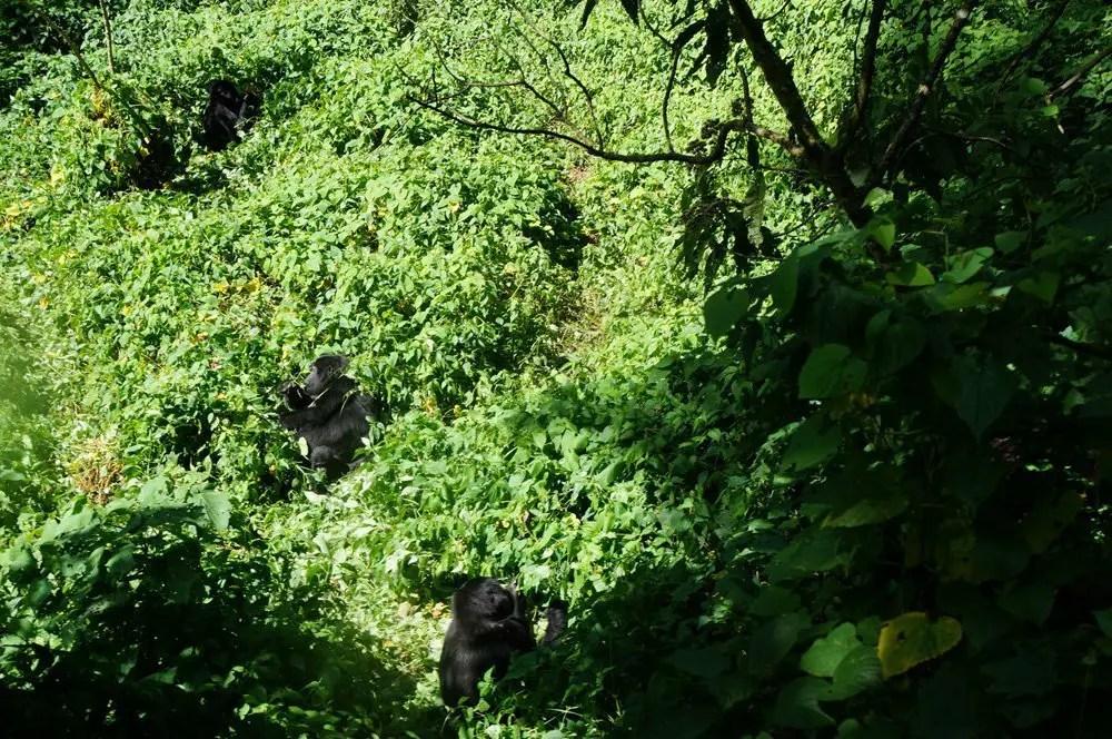 Gorillas fighting uganda bwindi