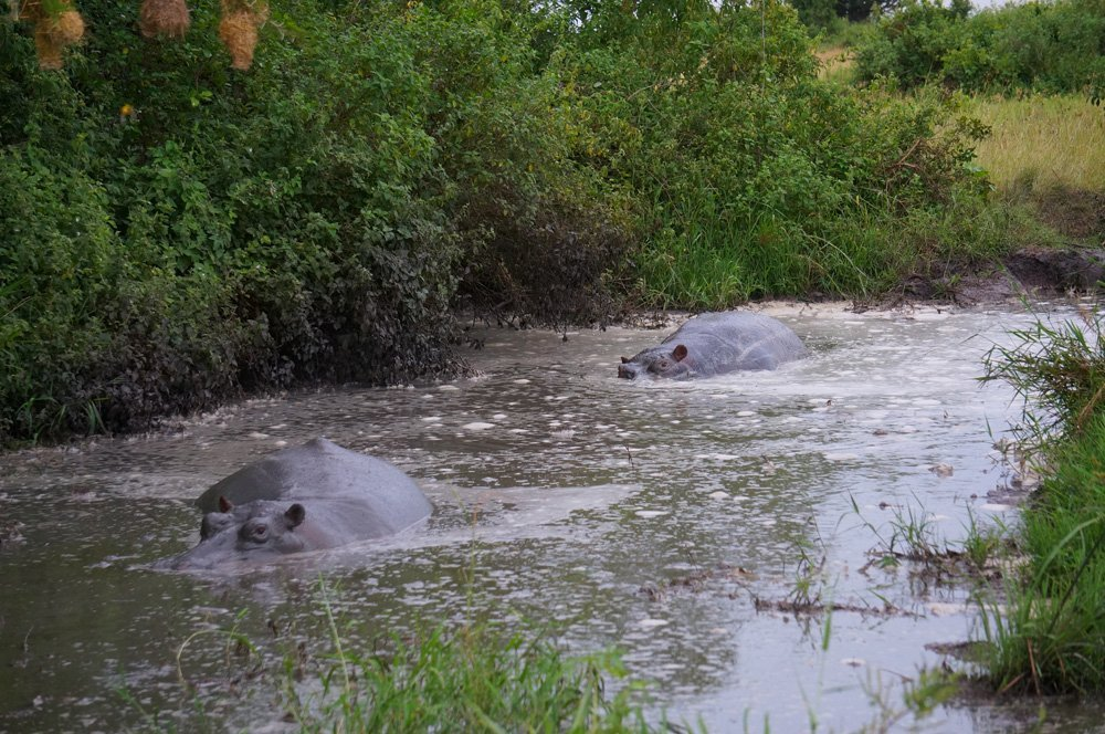 Close up of some hippos relaxing in the morning