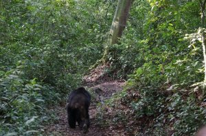 Chimp running off after giving us all a scare.
