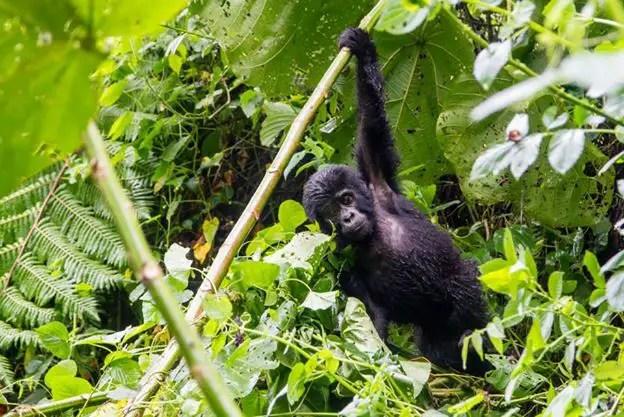 gorilla uganda hike bwindi