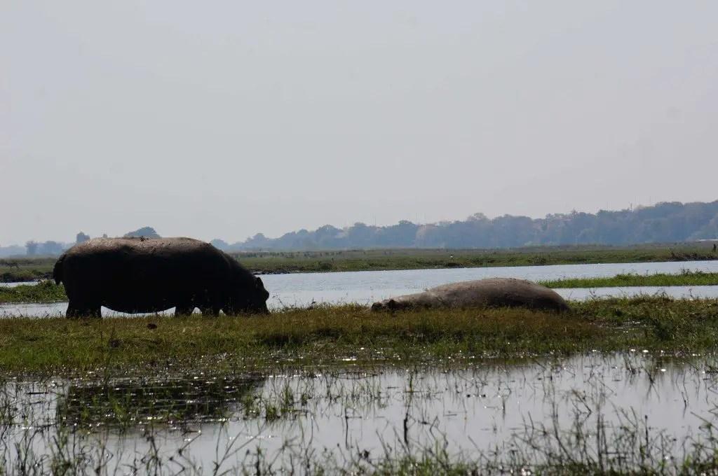 hippo chobe national park