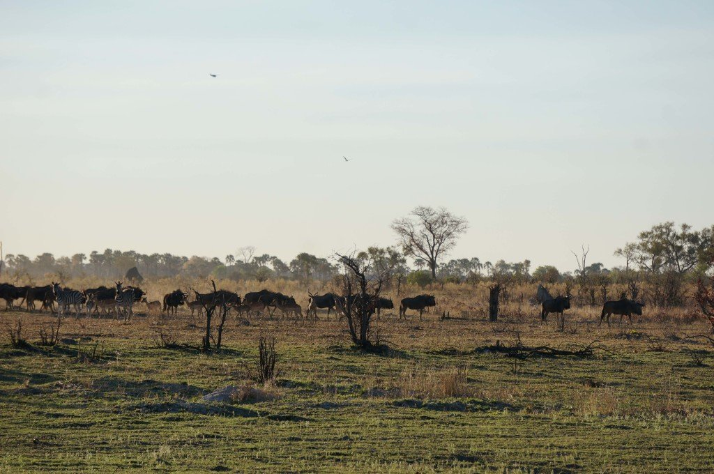 A group of wlldebeest and zebras in the distance.