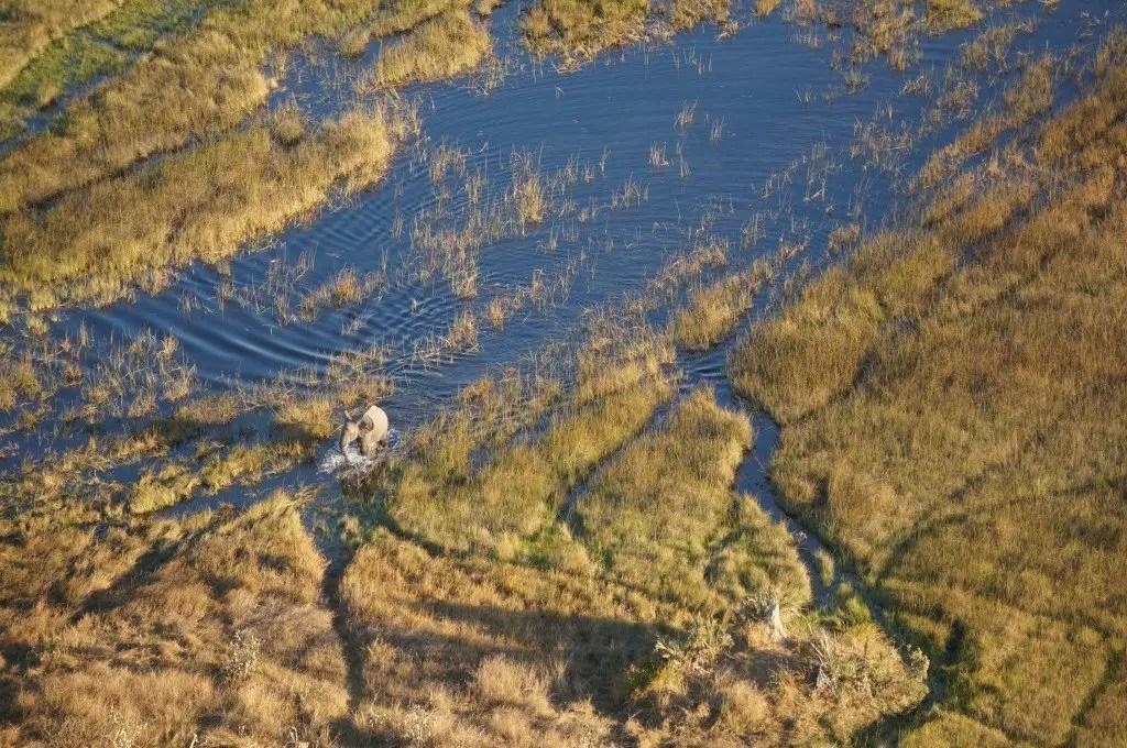 Bull elephant making his way through the Okavango.