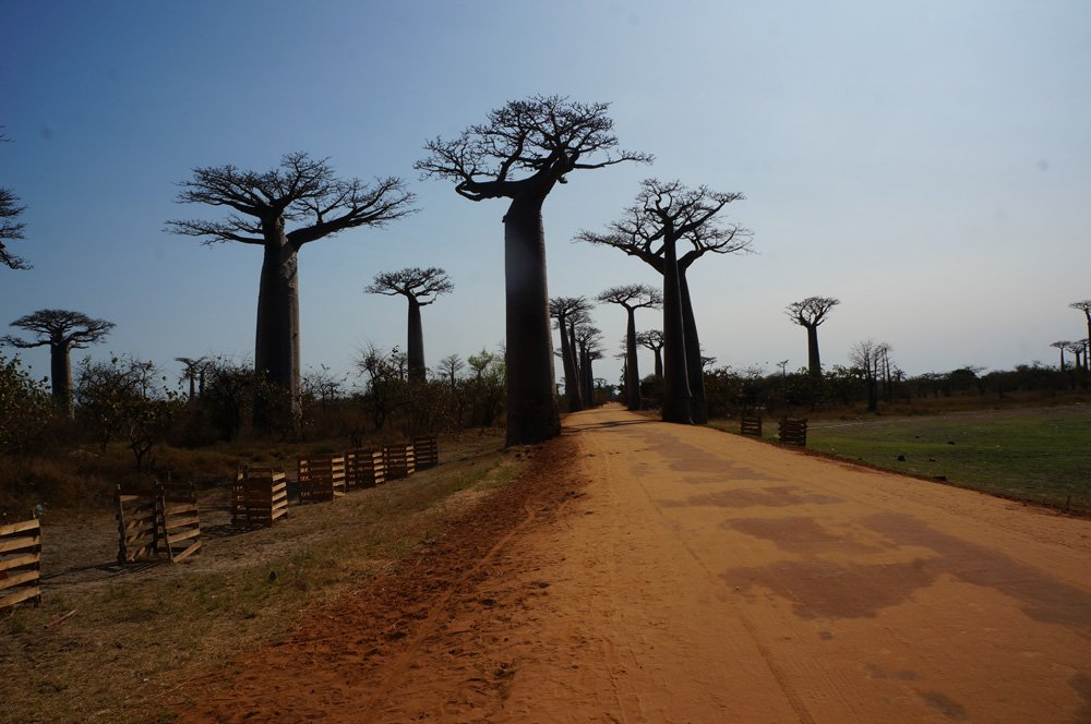 Avenue of the baobabs for the first time! Think this is cool? Wait until the sunset picture in the next blog post.