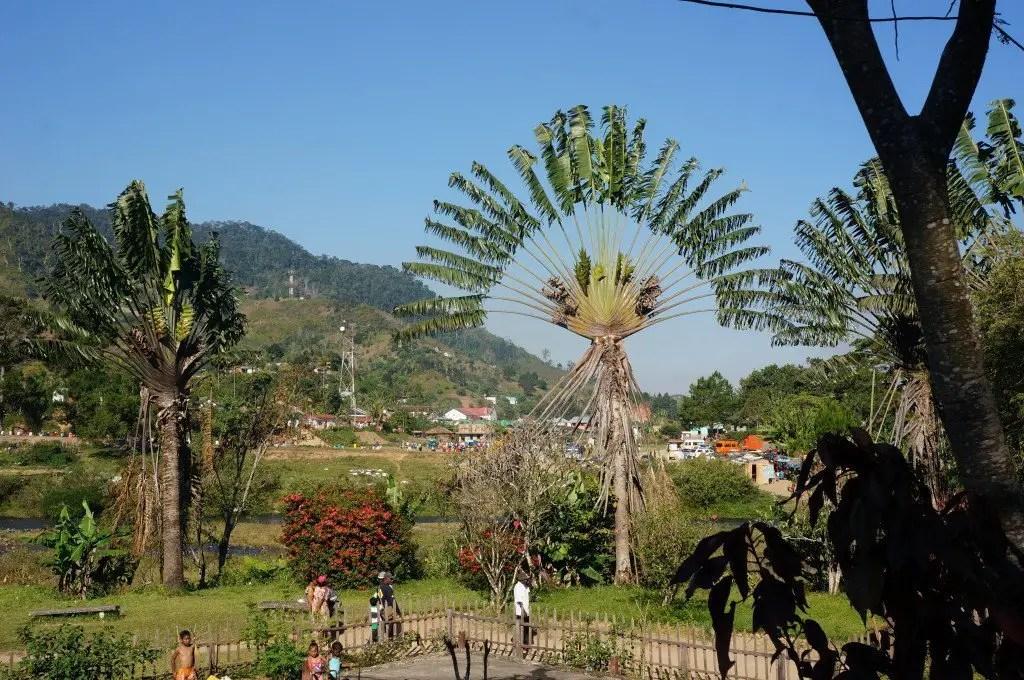 Gorgeous Ravenala tree in Ranomafana.