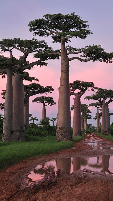 avenue of the baobabs during the wet season