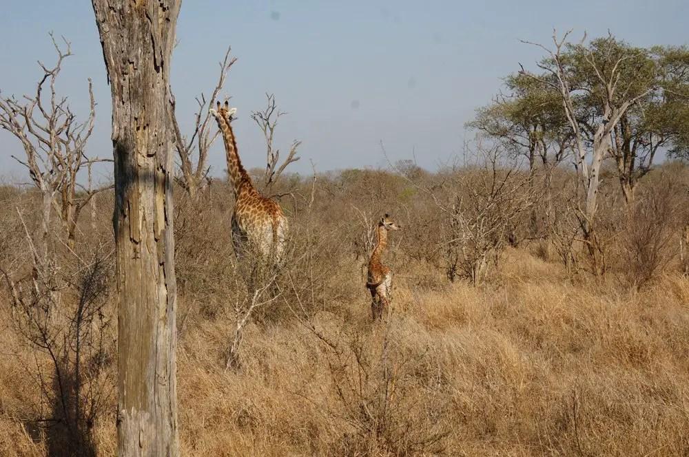 And giraffes