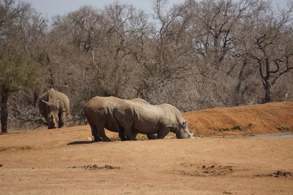 white rhinos swaziland