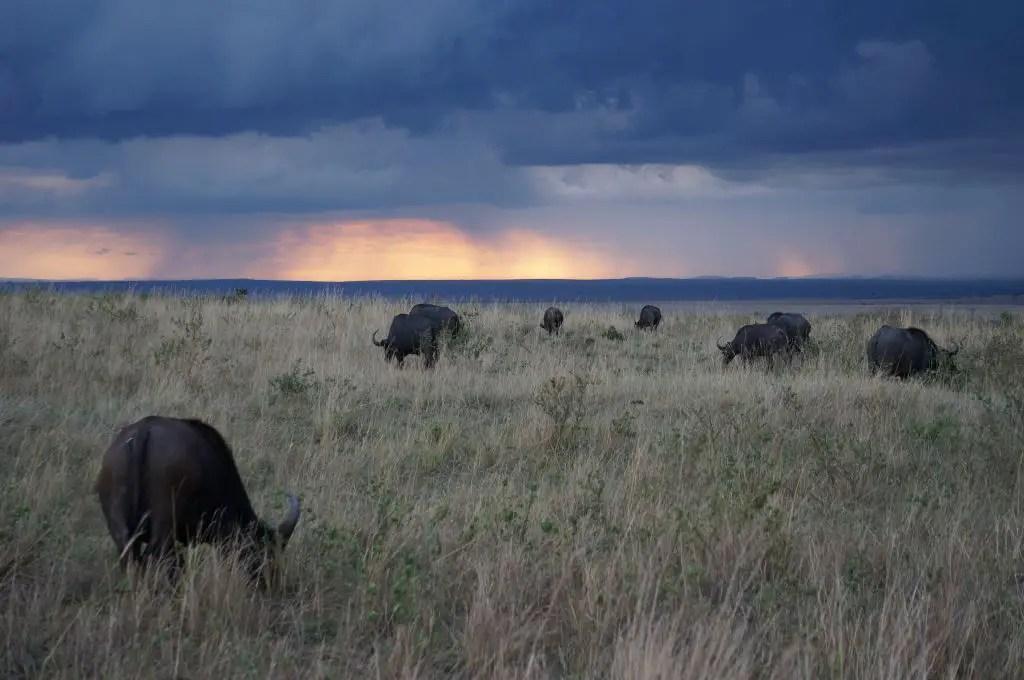Masai Mara water buffaloes sunset