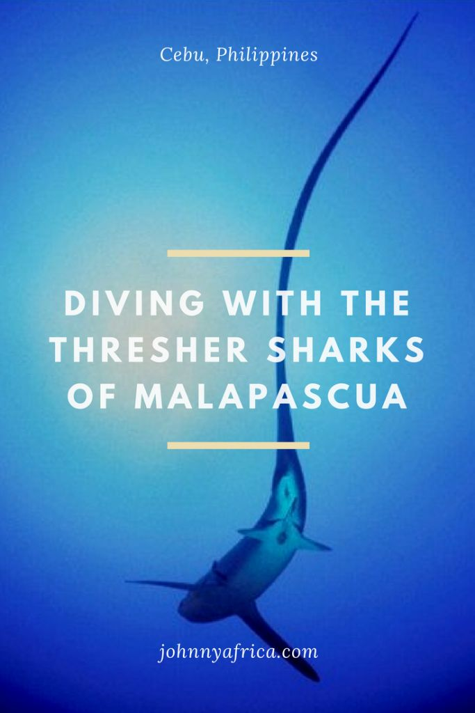 Malapascua is the crown jewel of Philippines diving. It's also one of the few places in the world that divers can dive face to face with the thresher shark. #thresher #threshershark #cebu #philippines #scubadiving #malapascua #malapascuadiving