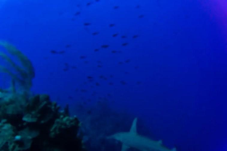 Little Cayman diving corals hammerhead