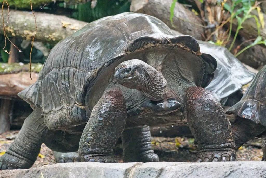 Giant Aldabra Tortoise