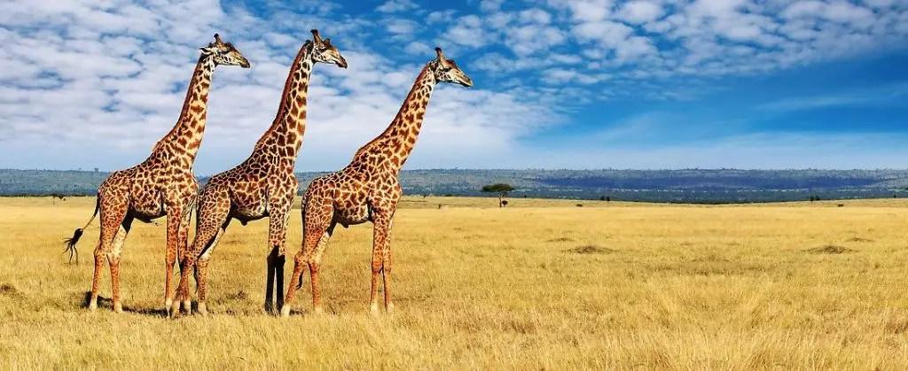 Masai Mara kenya giraffe