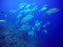 Long Caye Aquarium school of Jackfish