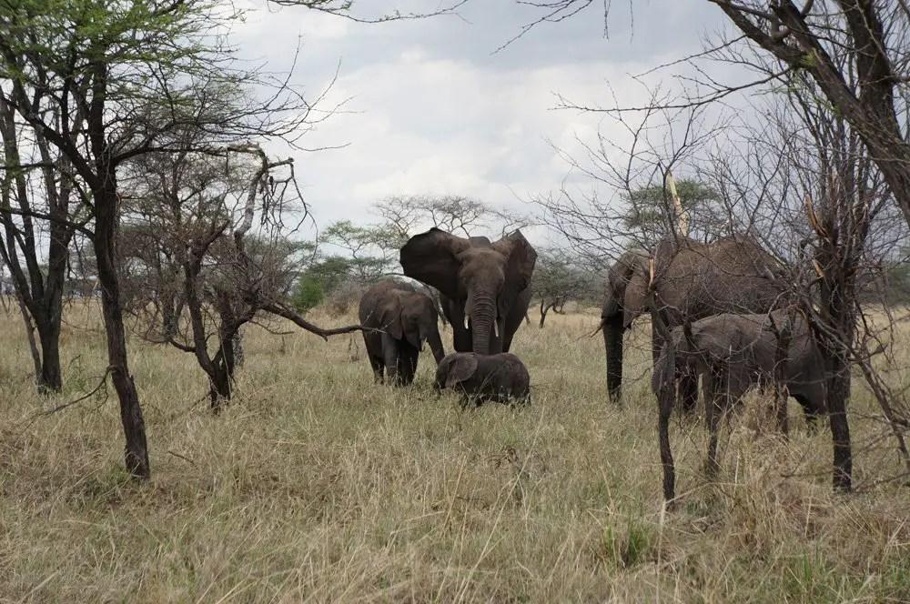 elephants campsite serengeti tanzania