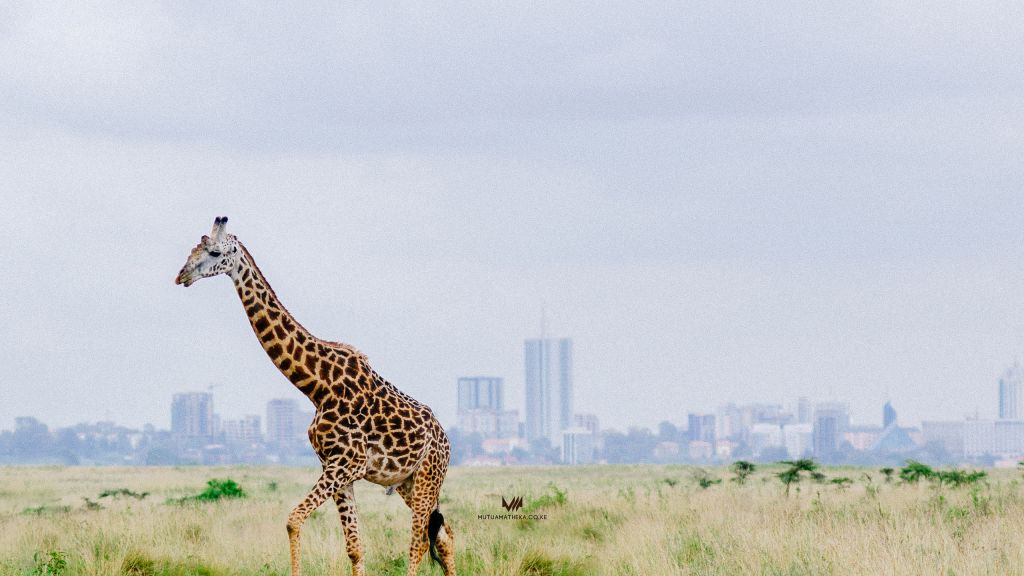 Nairobi Giraffe view of the city