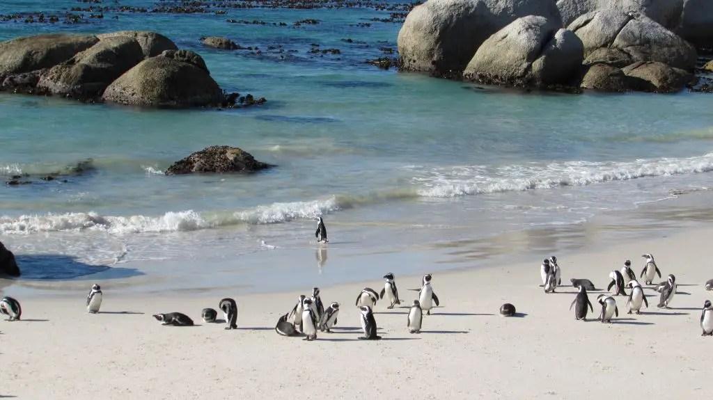 penguin boulder beach cape town