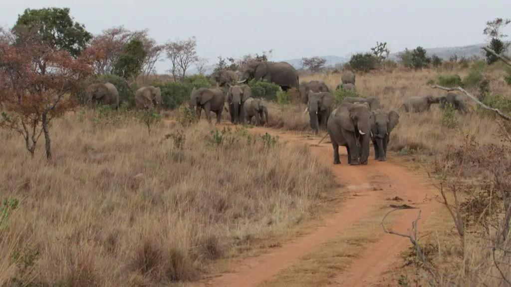 elephants south africa herd