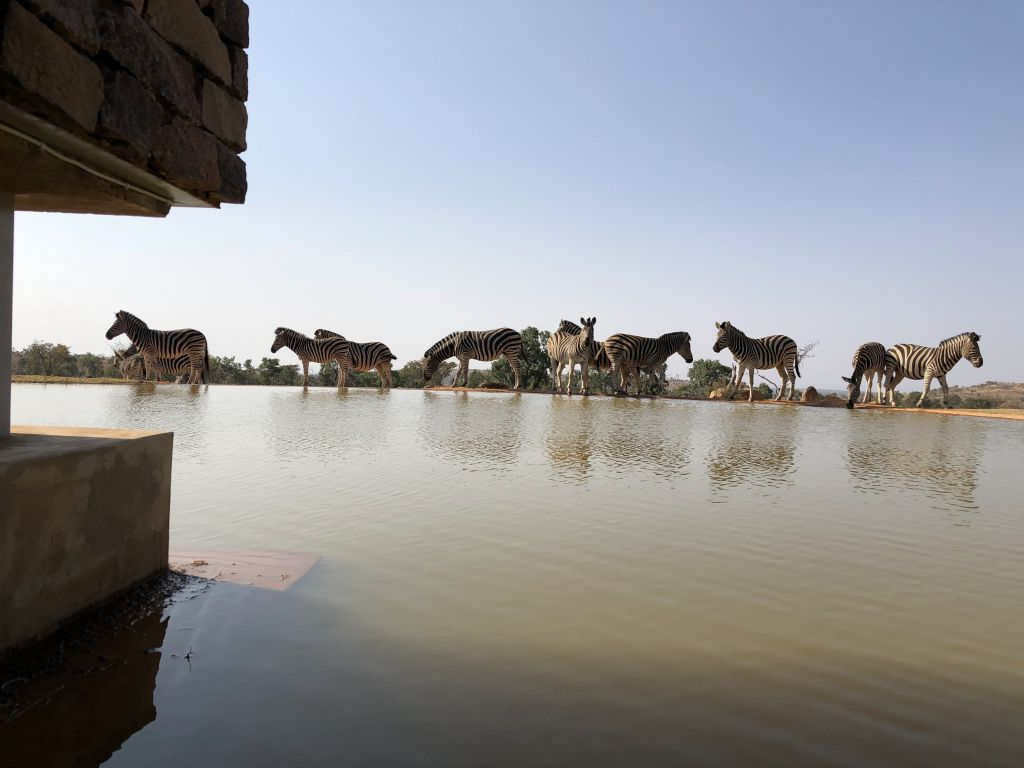 zebras mhondoro watering hole