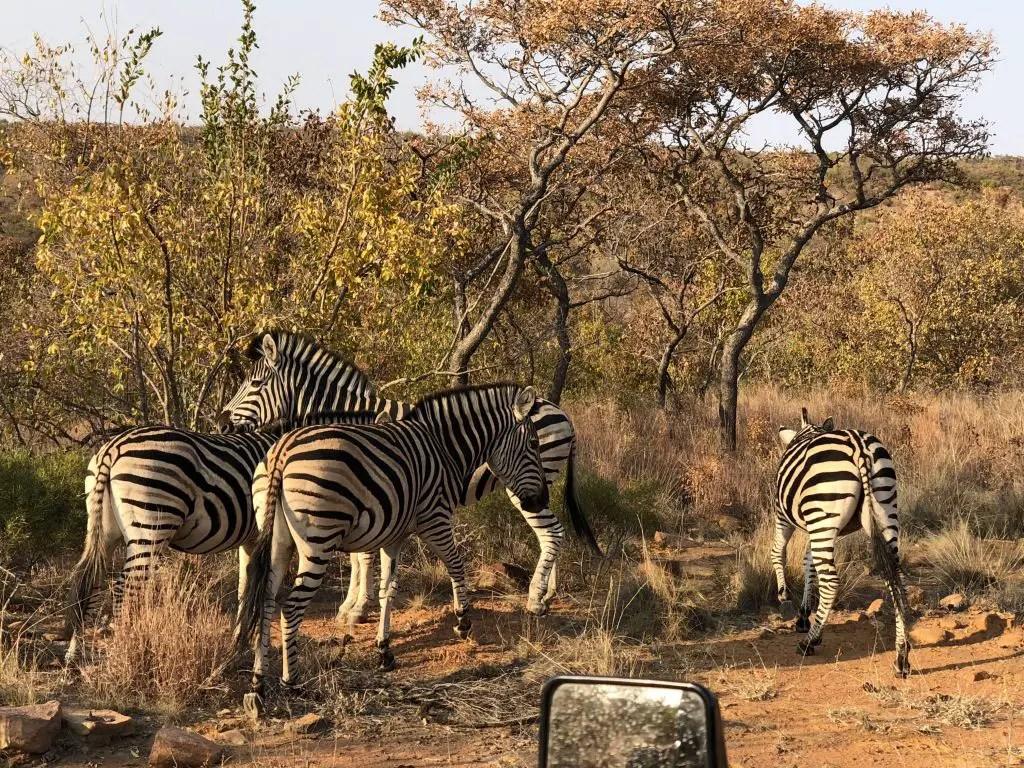 zebras mhondoro south africa