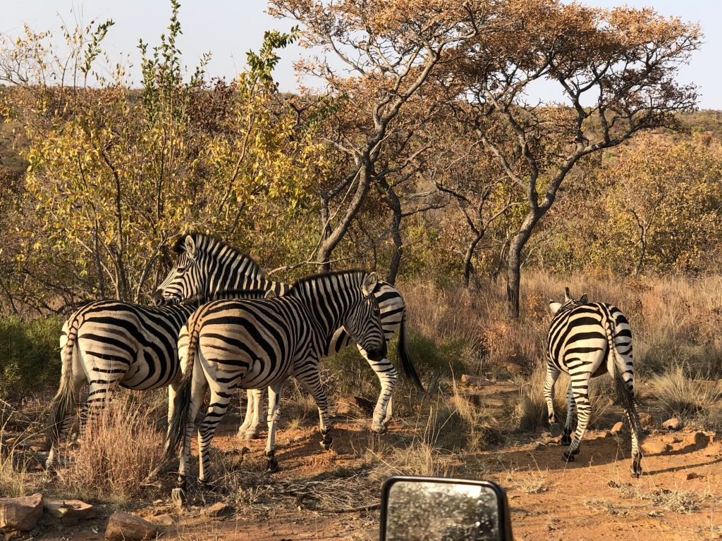 zebras mhondoro south africa